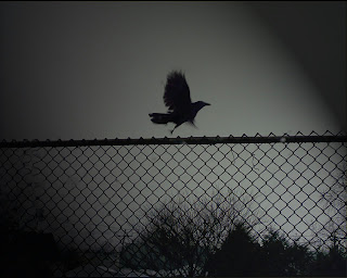 Raven On The Fence Dark Gothic Wallpaper