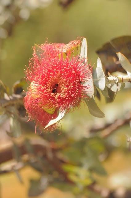Mottlecah - Eucalyptus macrocarpa 039