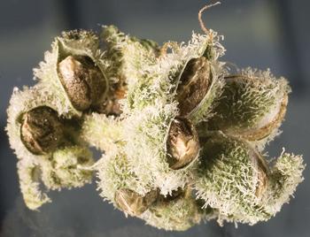 Flor madura com sementes de maconha
