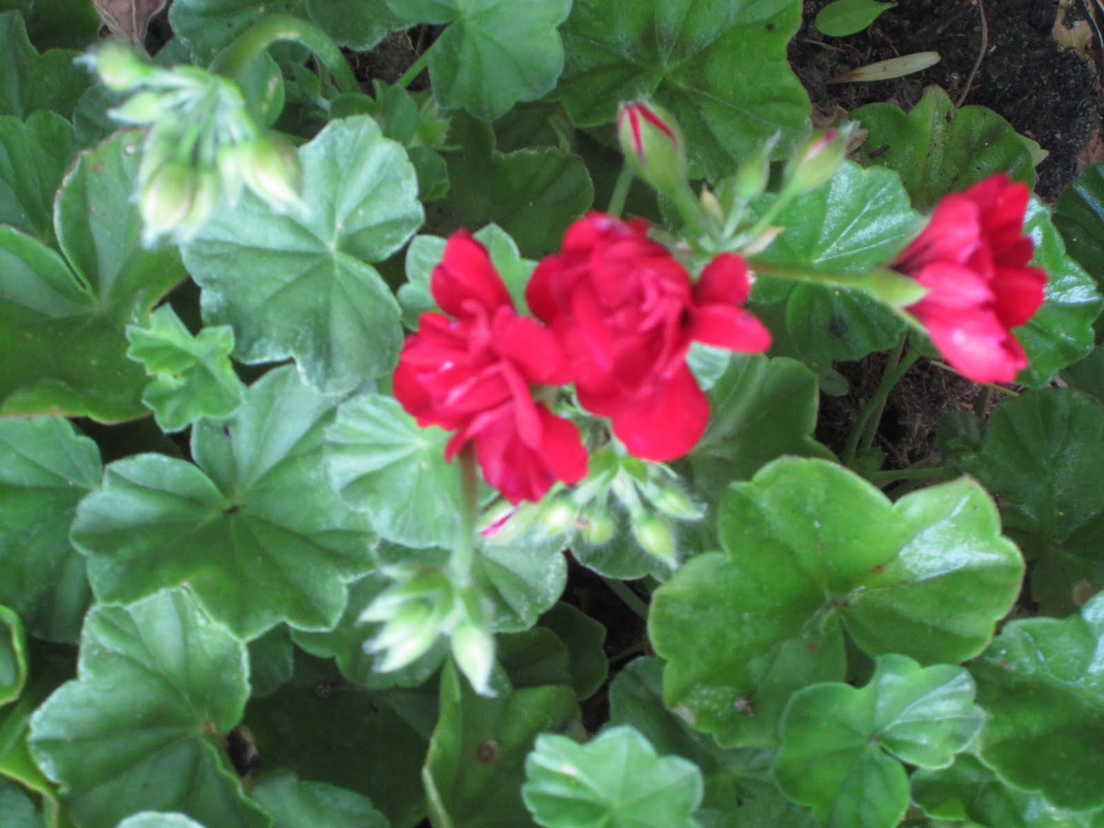 Joe ruggiero designer hgtv host ivy geraniums give great color to the garden - How to care for ivy geranium ...
