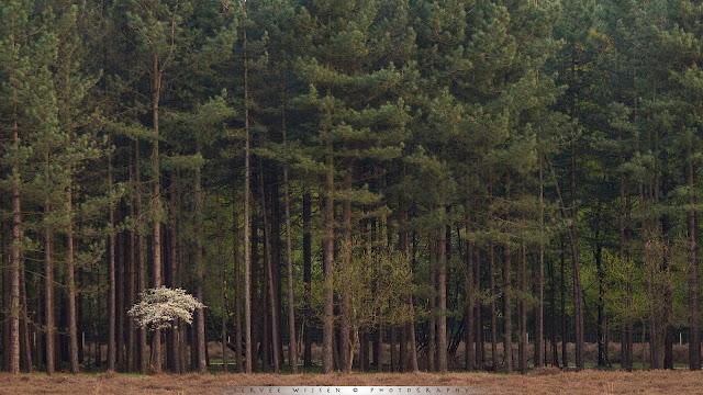 Krentenboompje - Shadbush - Amelanchier lamarckii