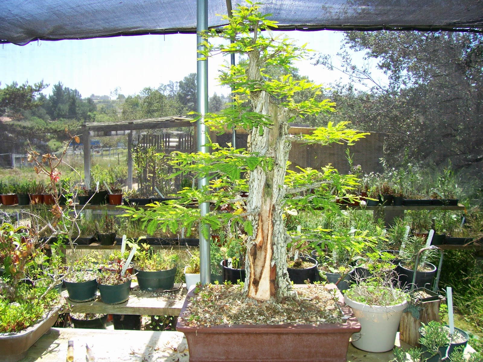What39s Happening At Muranaka Bonsai Nursery Working On A
