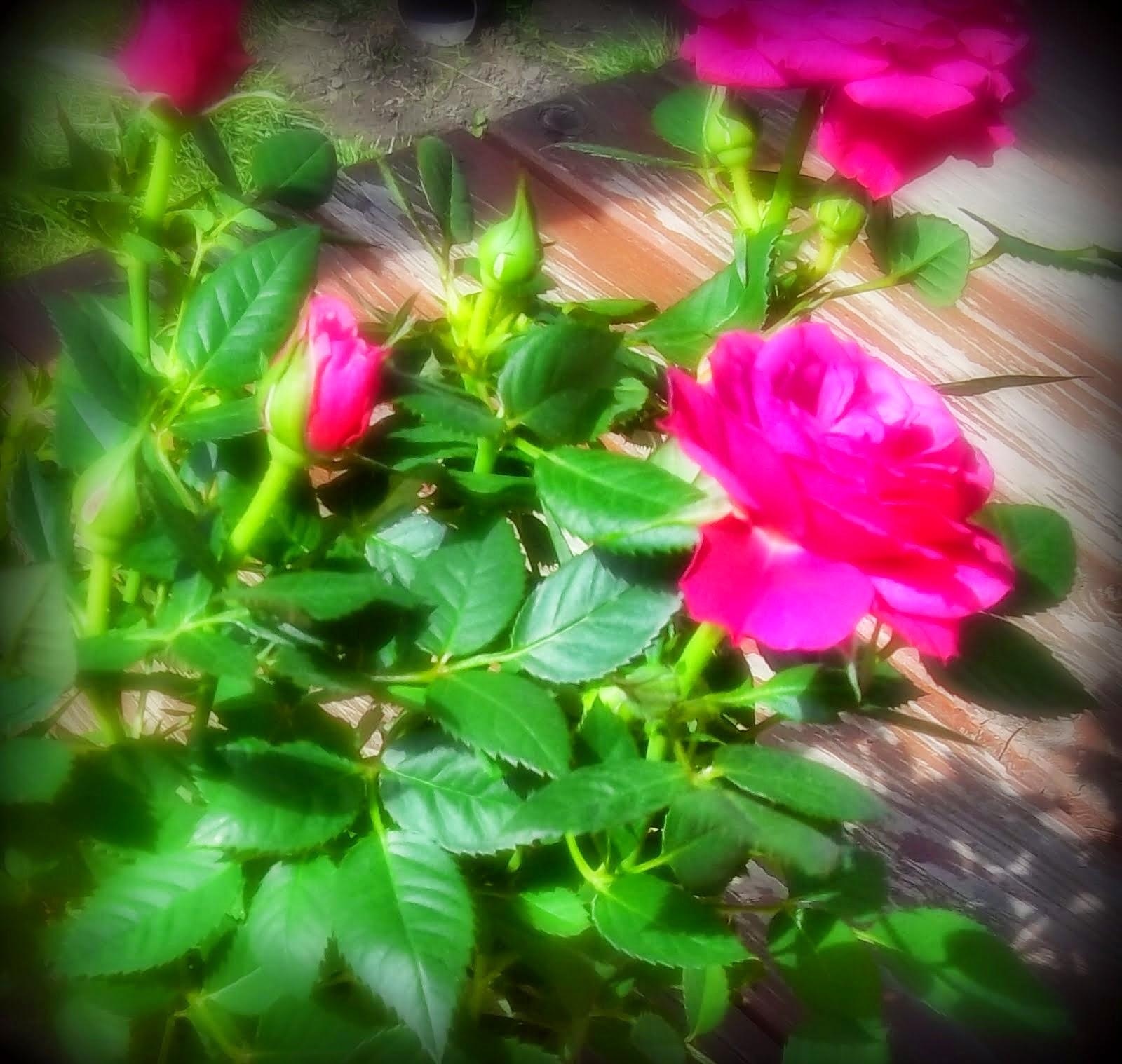 Rózsa anyák napjára