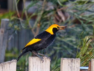John J Audubon Ruddy Turnstone Deco Magnet Birds of America Shorebirds