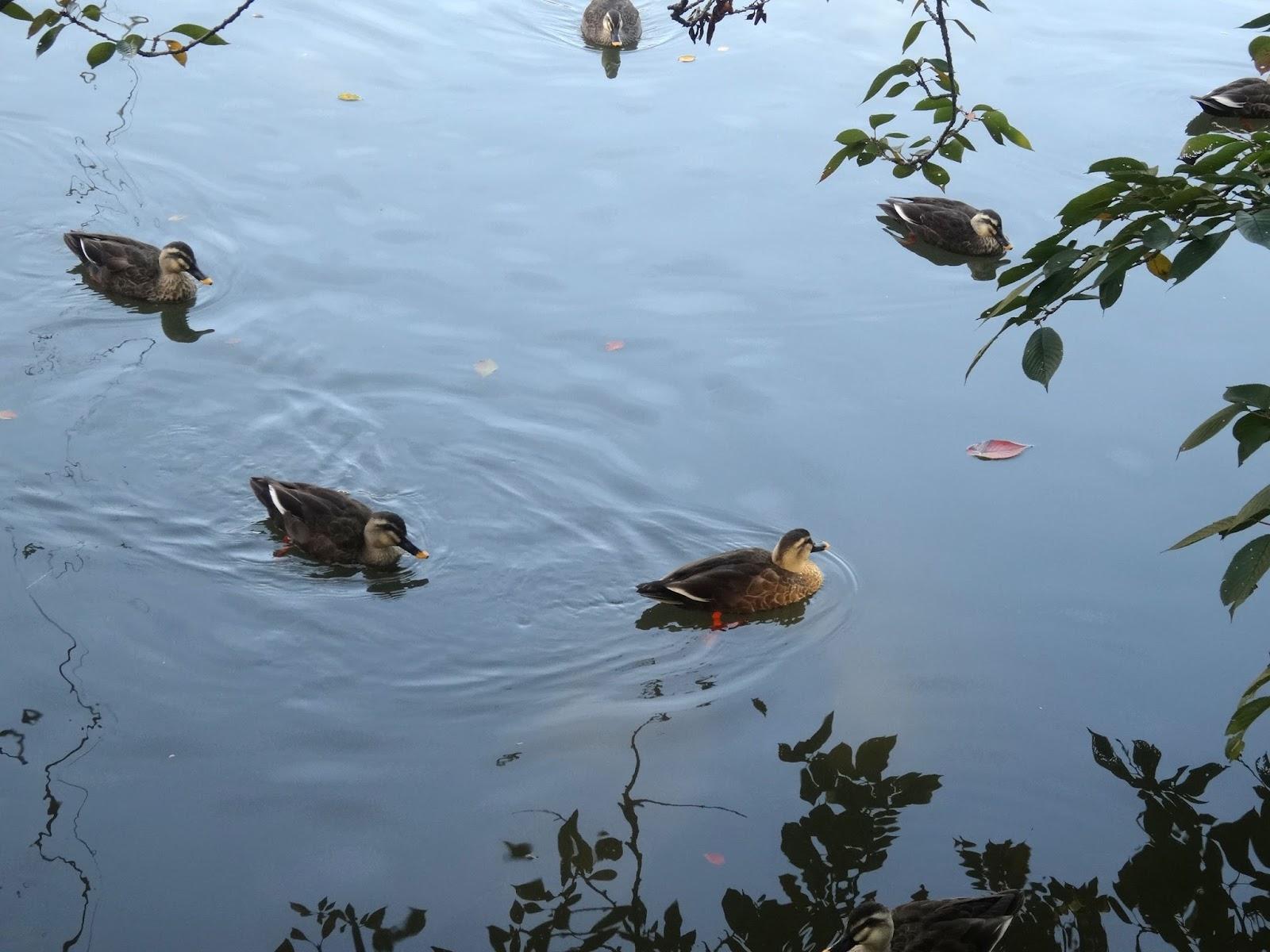 鴨,鳥,弘前公園〈著作権フリー画像〉Free Stock Photos