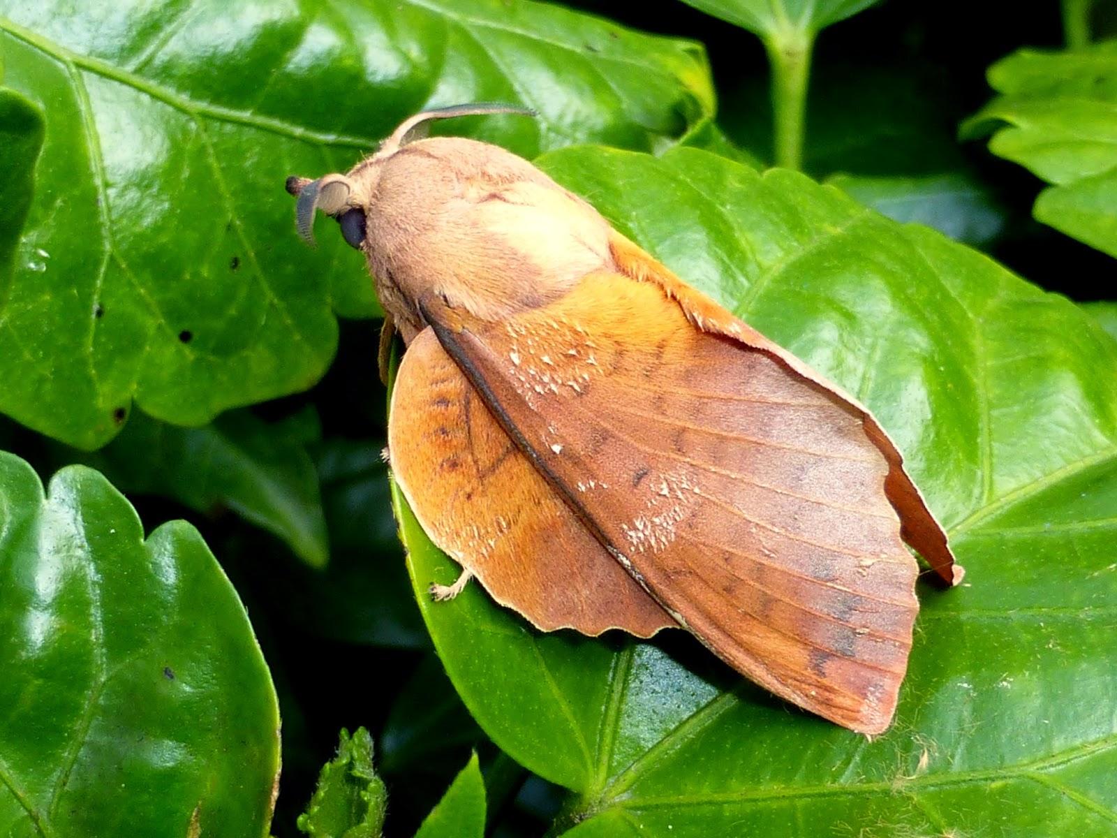 Gastropacha horishana male