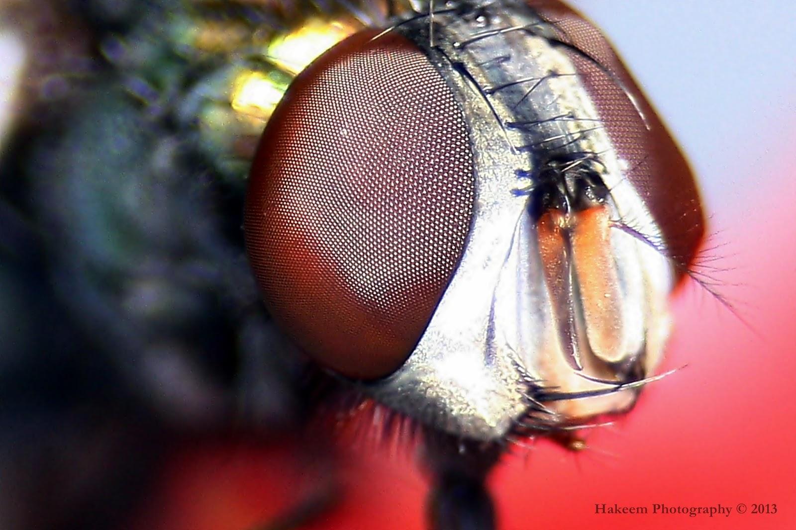 Facet Eye of Fly