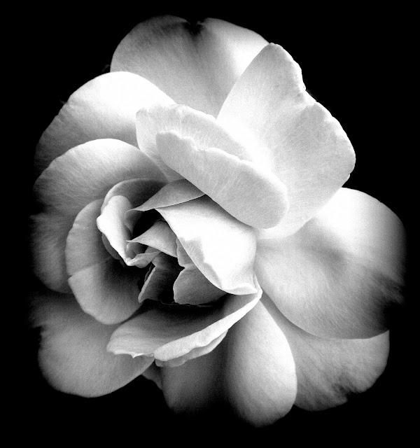 Rose of Gray by Beth Ann Strub