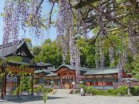 西院にある春日神社に「六尺藤」と「恩賜之藤」を観に行ったが花は7,8分咲きになっていた。
