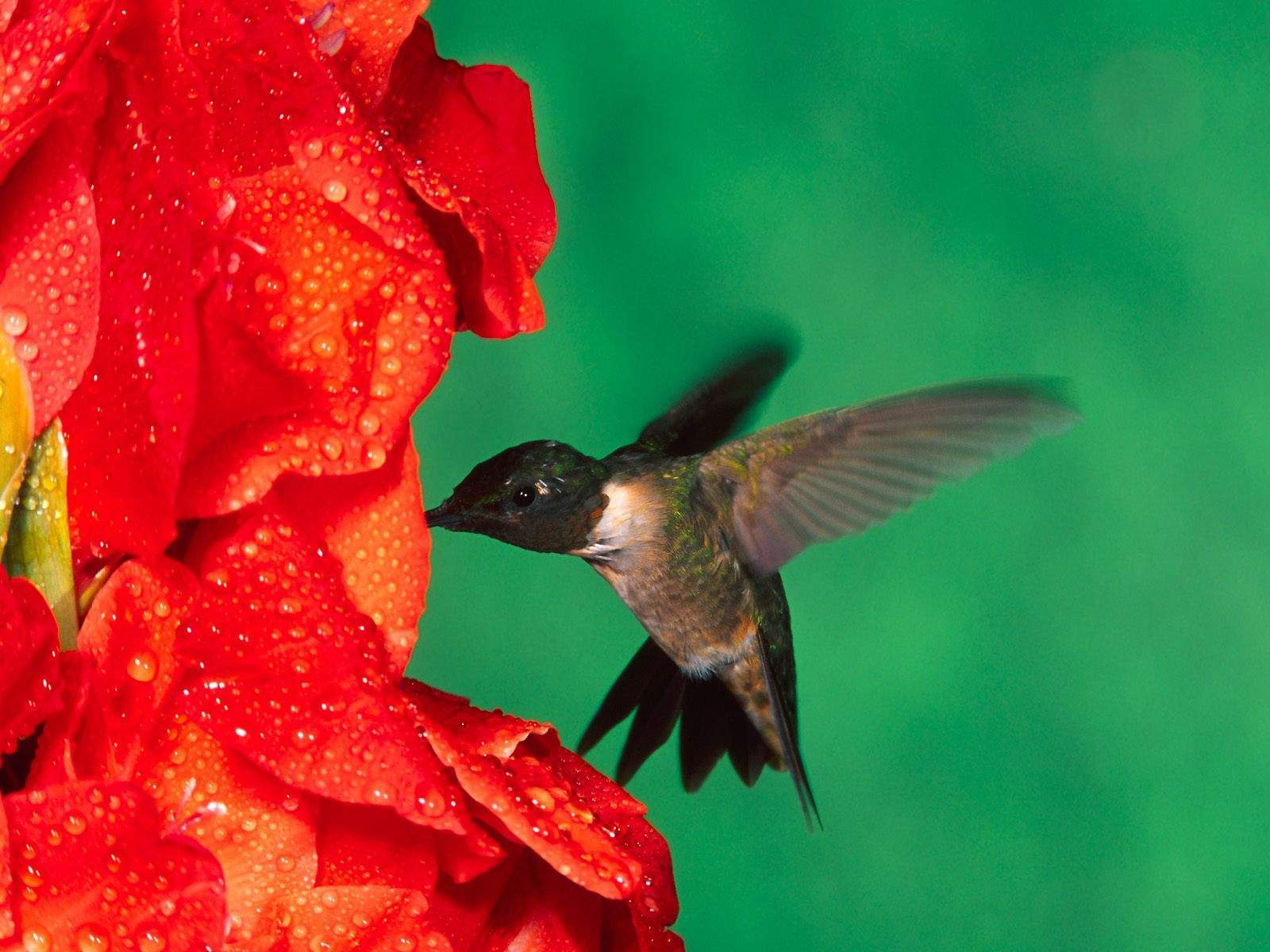 http://2.bp.blogspot.com/-ejgdWKOigmw/UP2T-PkEPgI/AAAAAAAACPg/gOqnI8JSbdU/s1600/Male+Ruby+Throated+Hummingbird+Wallpaper+HD.jpg