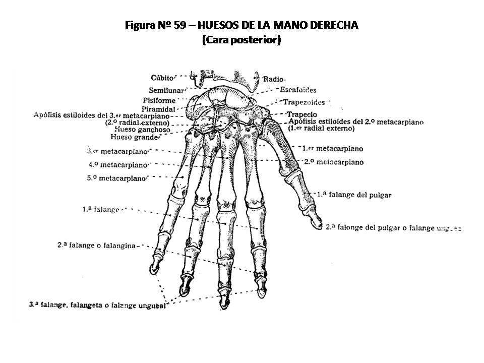 ATLAS DE ANATOMÍA HUMANA: 59. HUESOS DE LA MANO DERECHA, CARA POSTERIOR.