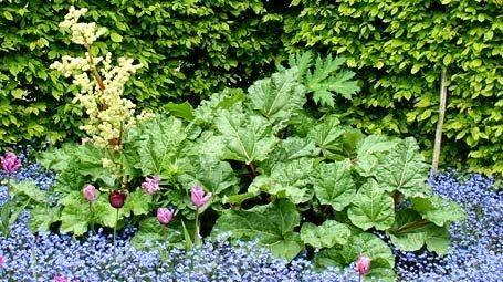 ревень, дизайн, использование ревеня в дизайне, рустикальный стиль и ревень, ревень в огороде, тюльпаны, незабудки
