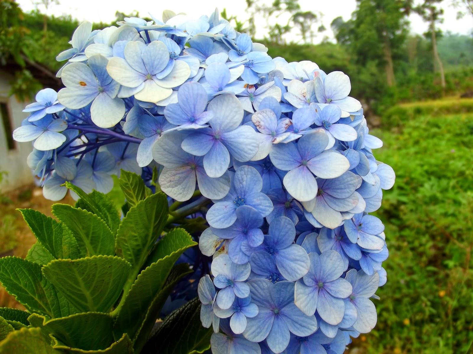 Khasiat Bunga Bokor untuk Kesehatan