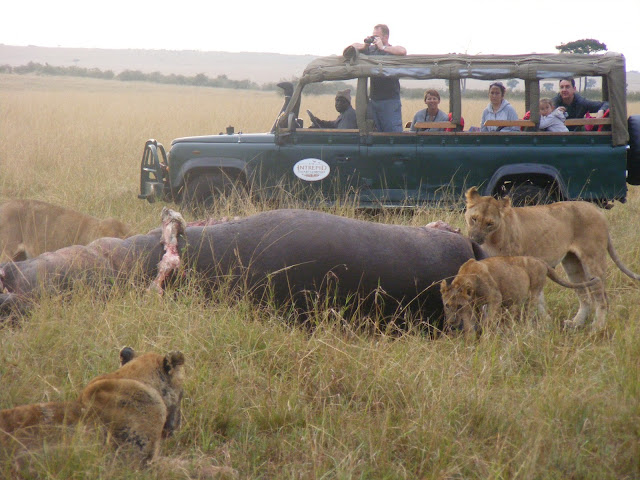 lions eating hippo, Masai, Maasai, Mara, Kenya, safari