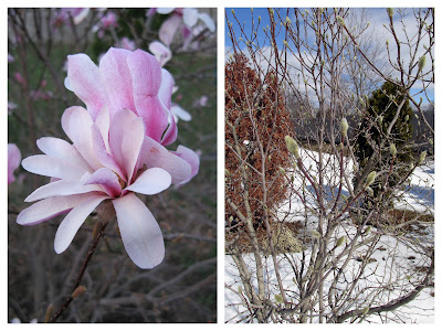 Magnolia blooms and buds