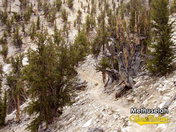 10 Pokok Tertua Di Dunia