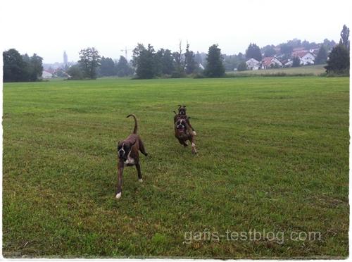 Boxer - Apollo, Amy und Baxter beim rennen