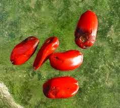 σπόροι Μαγνολιας