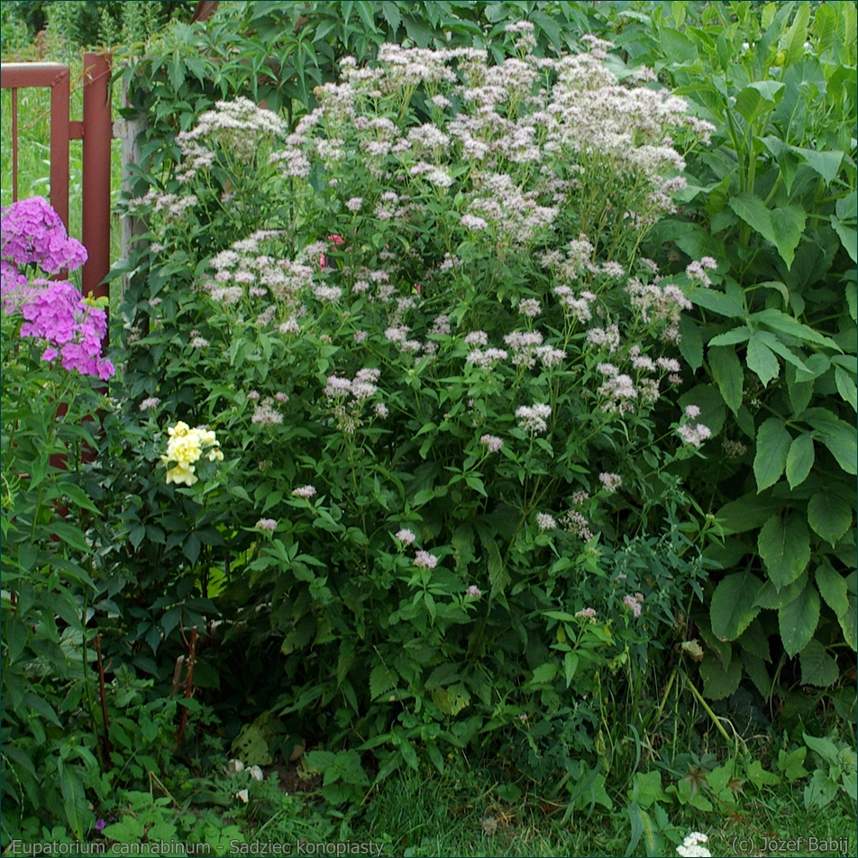 Eupatorium cannabinum - Sadziec konopiasty pokrój