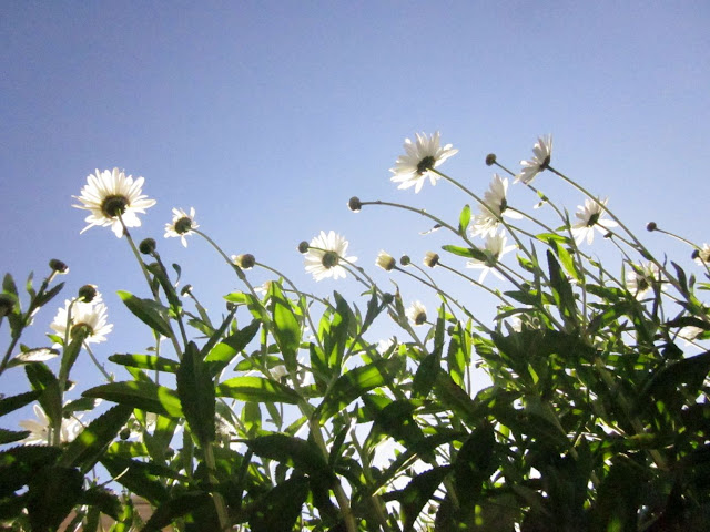 More ox-eye daisies and blue sky