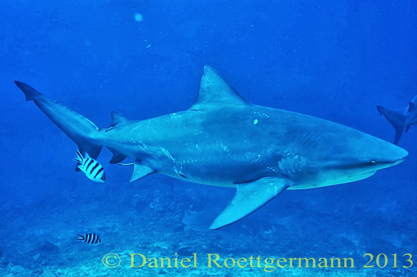 michael domeier shark research papers