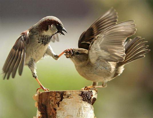 Pertarungan binatang Liar