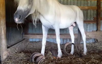 Копыта лошадей выросли длиной около метра,