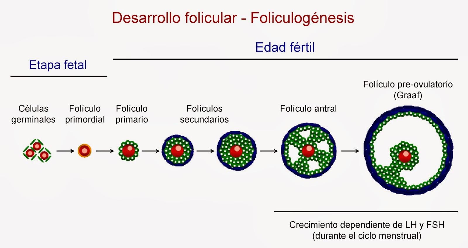 Desarrollo de los folículos a lo largo de la etapa fetal y la edad fértil de la mujer