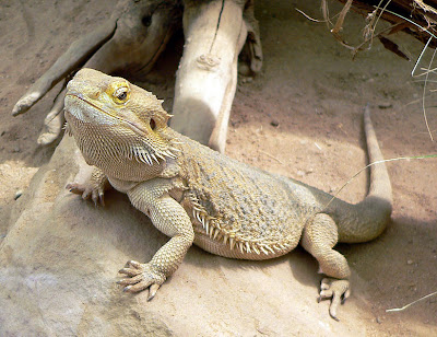 7 Lizards 10 of the Most Common, Weird and Creepy Animals as Pets