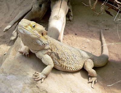 7 Lizards %Category Photo