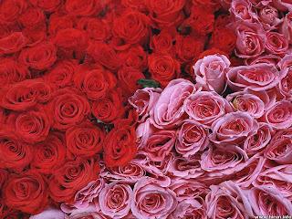 rosas rojas y rosas rosas