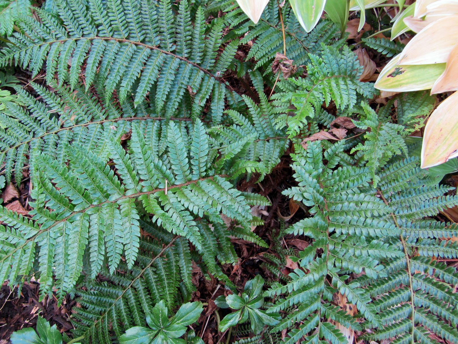 how to cut back ferns