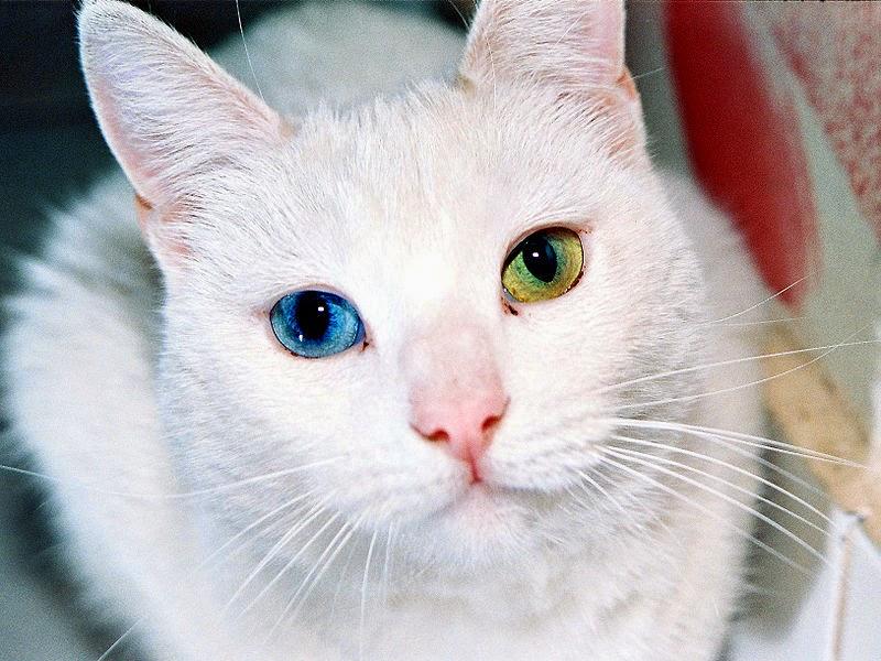 animales con ojos de diferente color