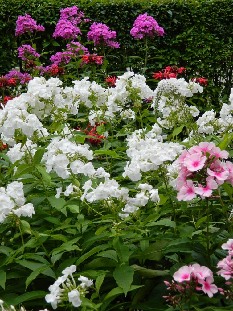 Summer phlox paniculata by garden muses-not another Toronto gardening blog