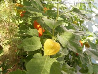 Le jardin de pascaline physalis coqueret du p rou en fleur - Comment planter un ananas ...