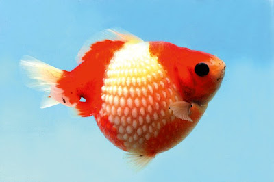 Round 39 n 39 cute born to be round pearlscale goldfish for Fish food golf balls