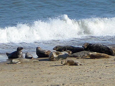 Seals at Winterton Ness