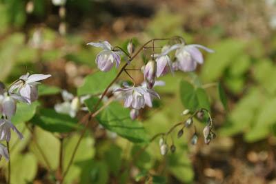 Горянка пышная (Epimedium × youngianum Roseum)
