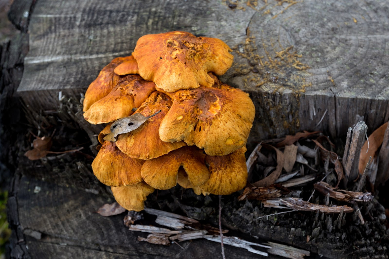 clump of fungi on tree stump wombat state forest