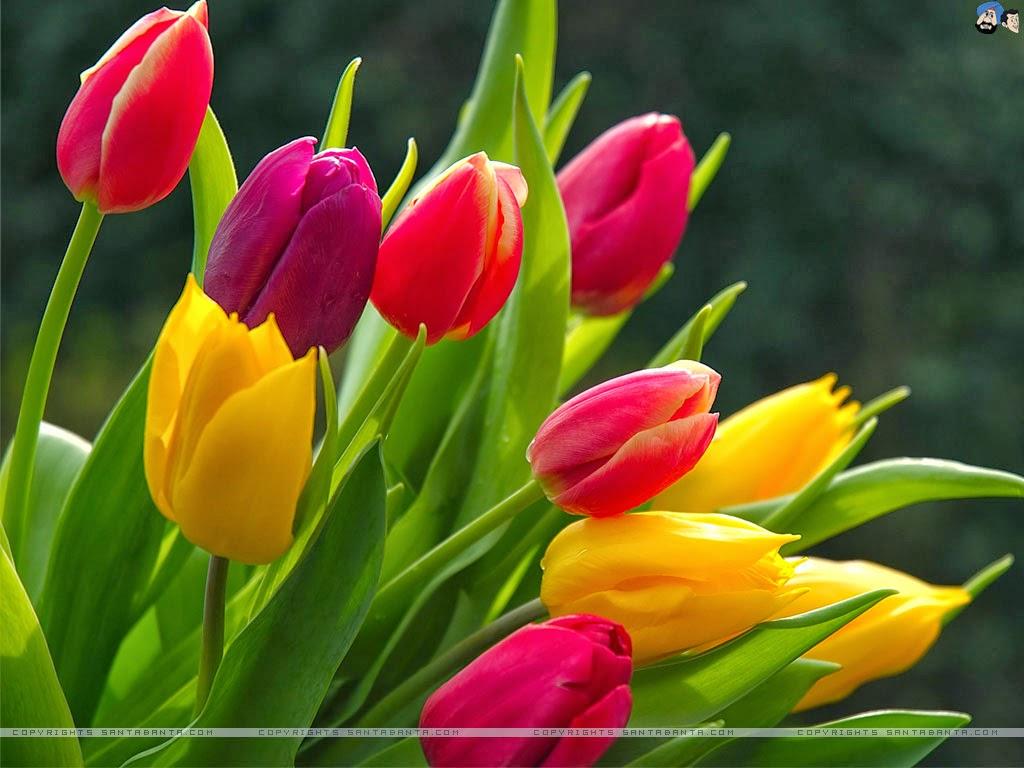tulip wallpapers  keywords here, Garden idea