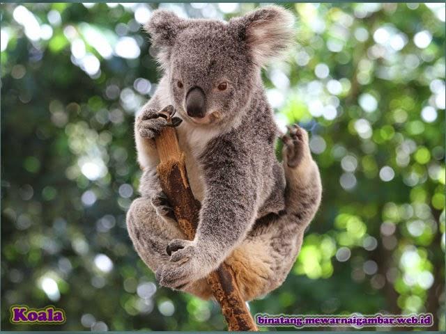 gambar binatang koala