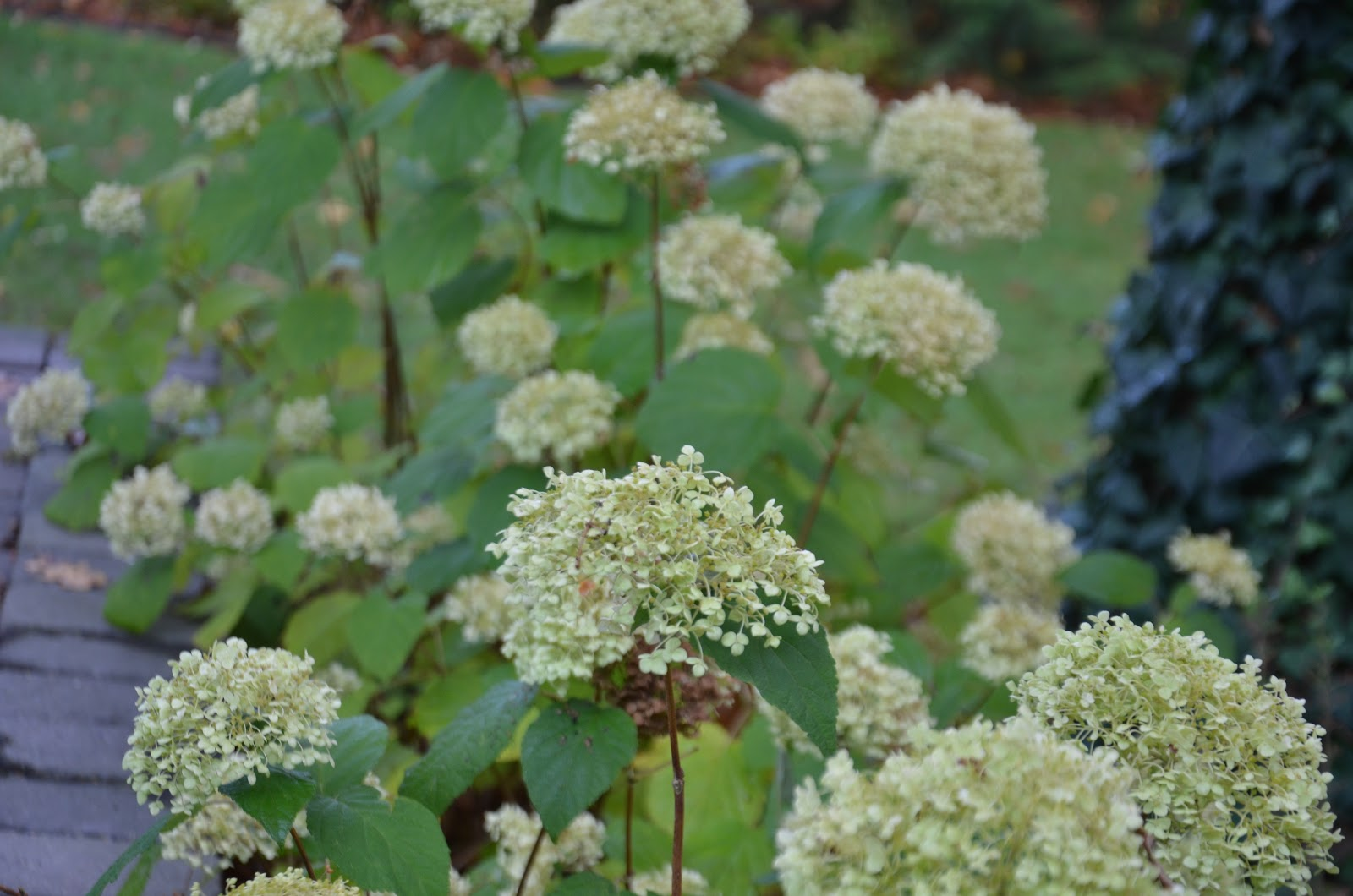 trim hydrangea to just above the tiny new buds which have just appeared cut off the dried moppy heads they make beautiful dried flowers for - When To Trim Hydrangea