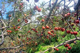 Kinnaur Apples garden