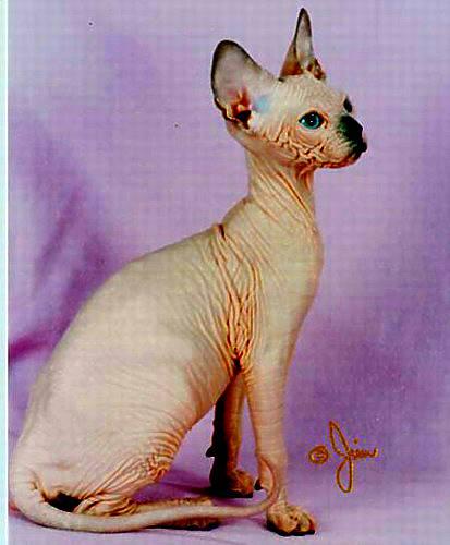 Gato esfinge taringa - Como quitar los pelos de gato de la ropa ...