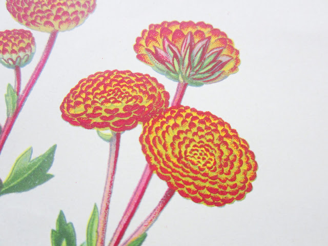 Close up of flower from Pompon Chrysanthemum botanical print