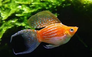 cara budidaya ikan hias black molly,ikan molly lengkap,jenis ikan molly,platy,guppy,harga balon molly gold,
