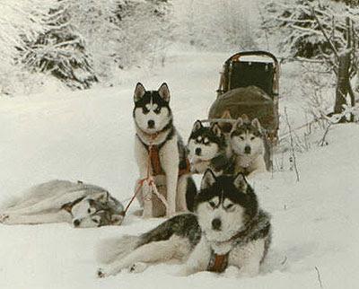 Husky Siberianos en la Nieve con Trineo