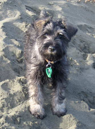 Standard Schnauzer Puppy Best Photos | Puppy Photos Collection