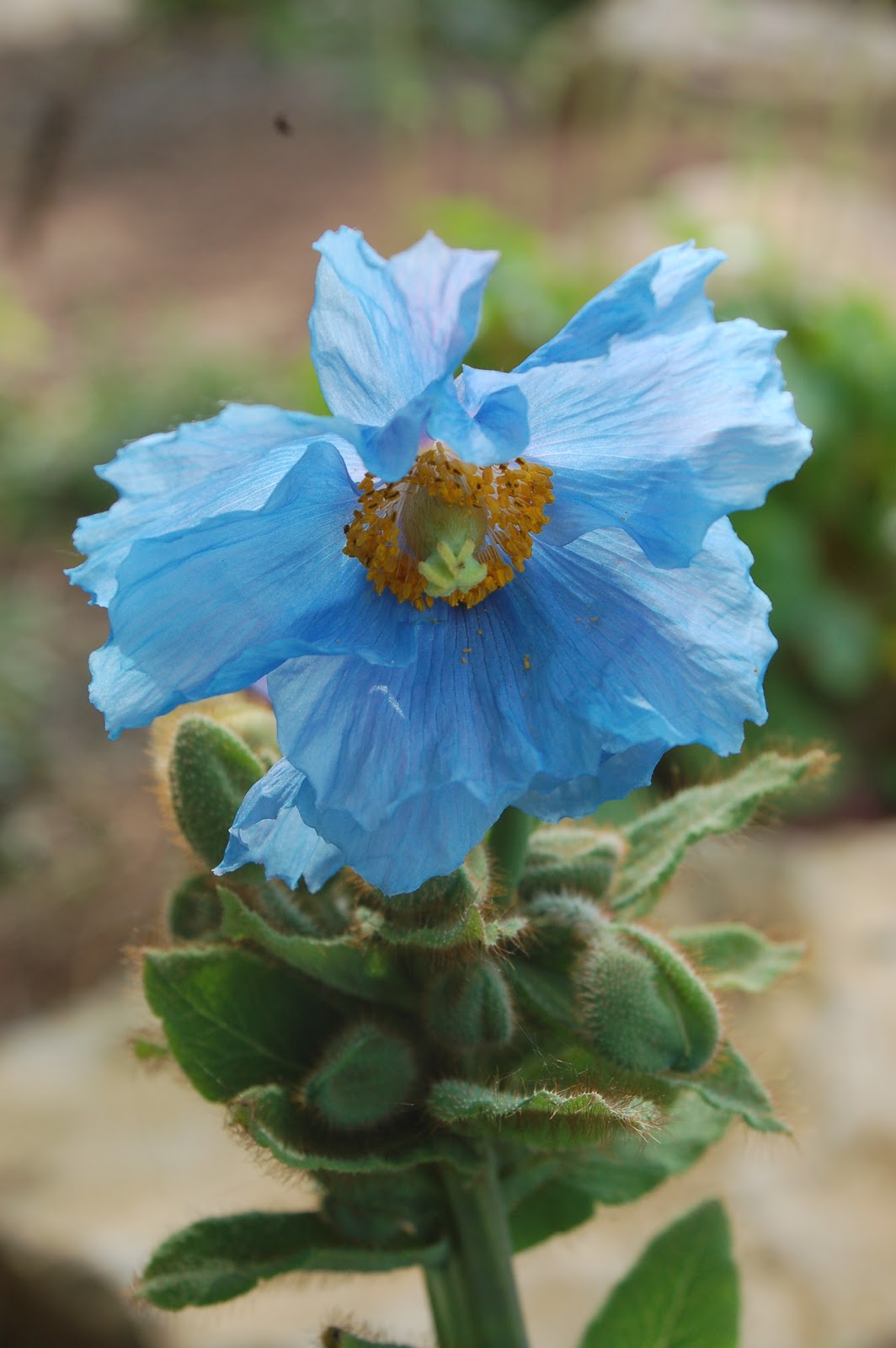 Wild Ginger Farm News Blog Himalayan Blue Poppies 3 Keys To Success