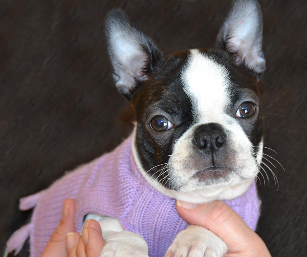 A Boston Terrier pup at about six months old, wearing a mauve knitted sweater - perfect for a little girl!